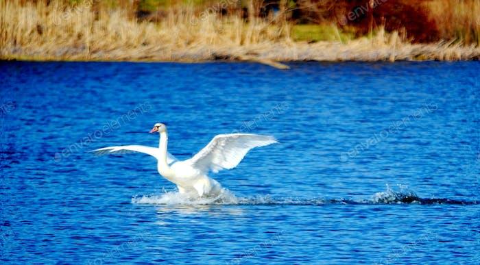 Swan landing on the lake!