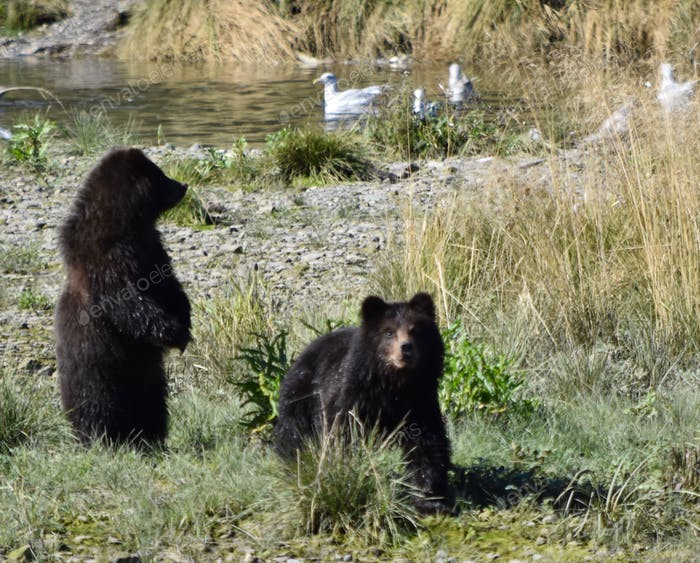 Baby grizzly bear cubs spot us across the creek