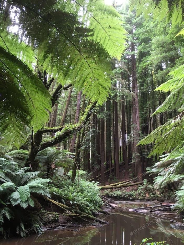 Redwood Forest, Vic, AU