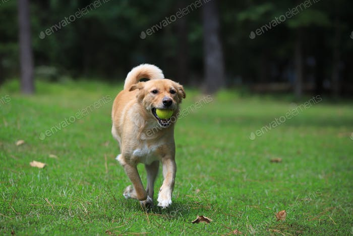 Golden mixed breed running with ball