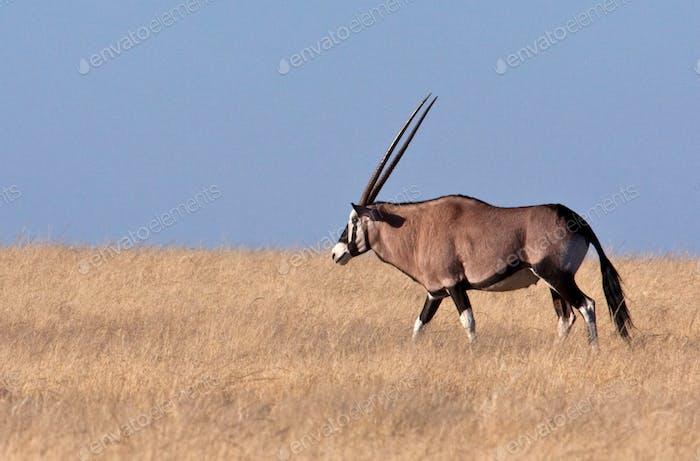 A male Gemsbok antelope (Oryx) in Damaraland in northern Namibia.