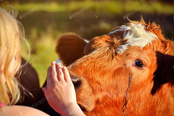 Bull smells on a girls hand