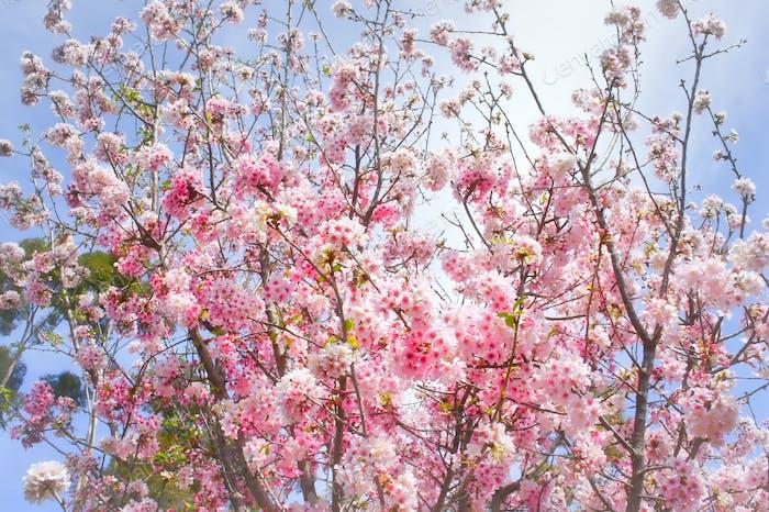 Cherry tree heaven.