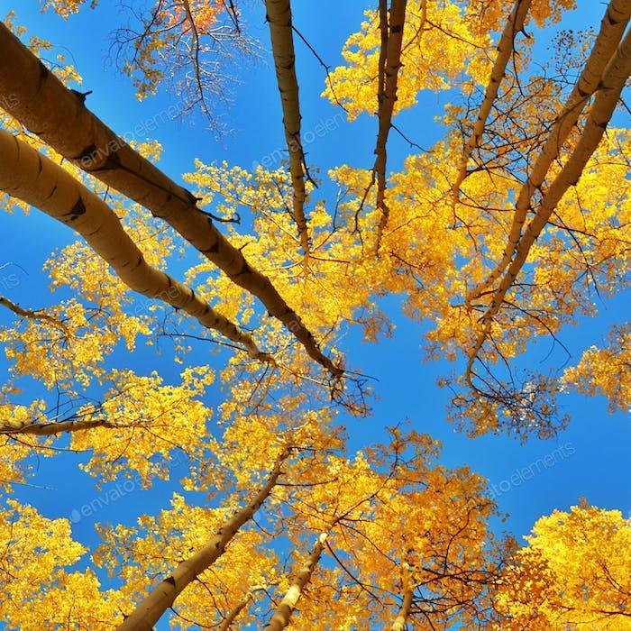 Autumn Aspens of Santa Fe