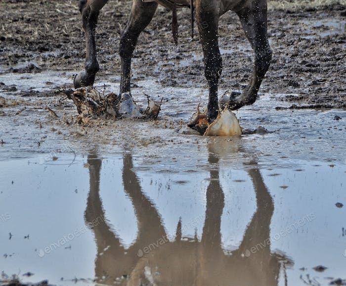 Horse riding in the rodeo mud  puddle reflection