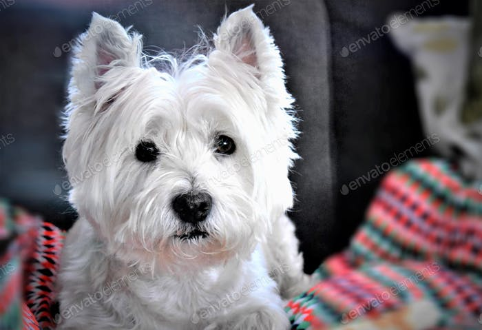 CUTE SMALL DOG : WEST HIGHLAND WHITE TERRIER  LOOKING AT THE CAMERA, WHILE LYING ON HIS BED