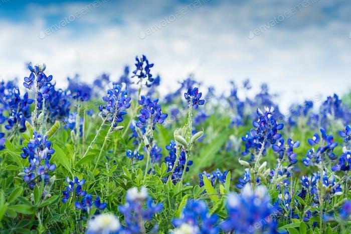 Texas Blue Bonnets