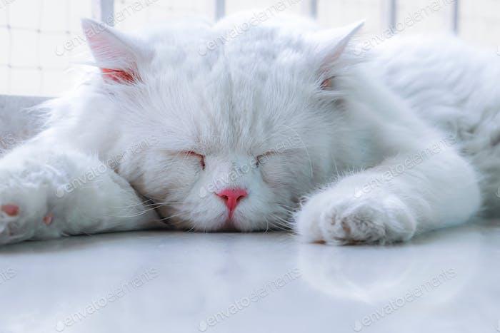 Sleeping white Persian cat