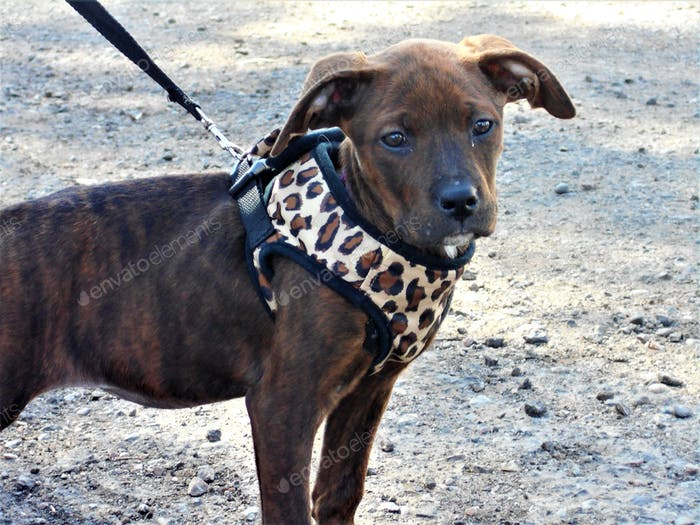 Cute Dogs! A young brindle color pit bull mix puppy, walks on a leash.