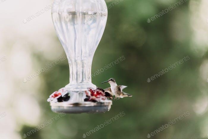 A hummingbird in flight at a glass feeder