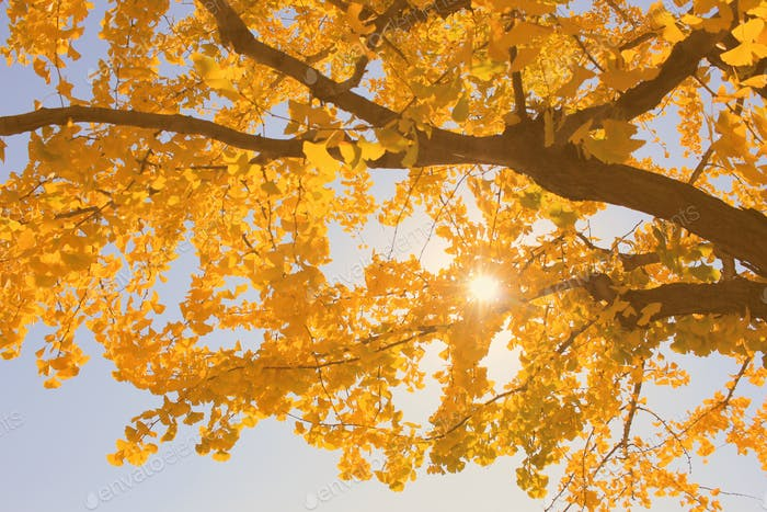 Gingko trees and yellow leaves