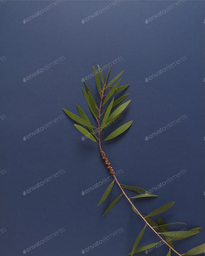 Unedited Eucalyptus branch on navy background