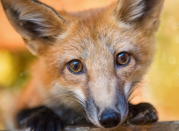 A kit fox poses for the camera.