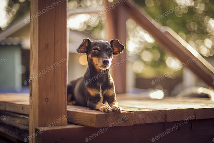 Small Terrier Dog lying down