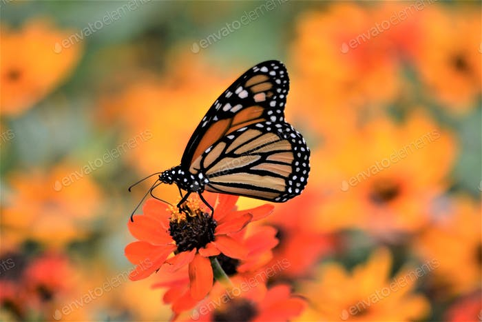 Monarch butterfly!! Nominated💕