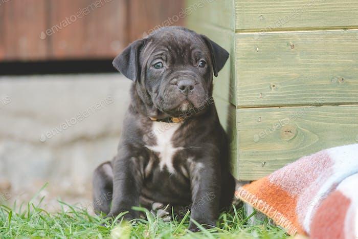Little cute dog. American Bulli xl