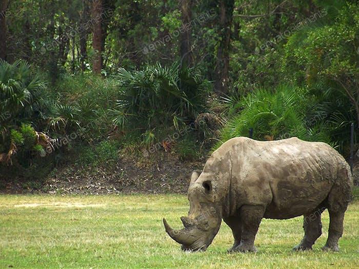 El rinoceronte blanco del sur es el segundo mamífero terrestre más grande
