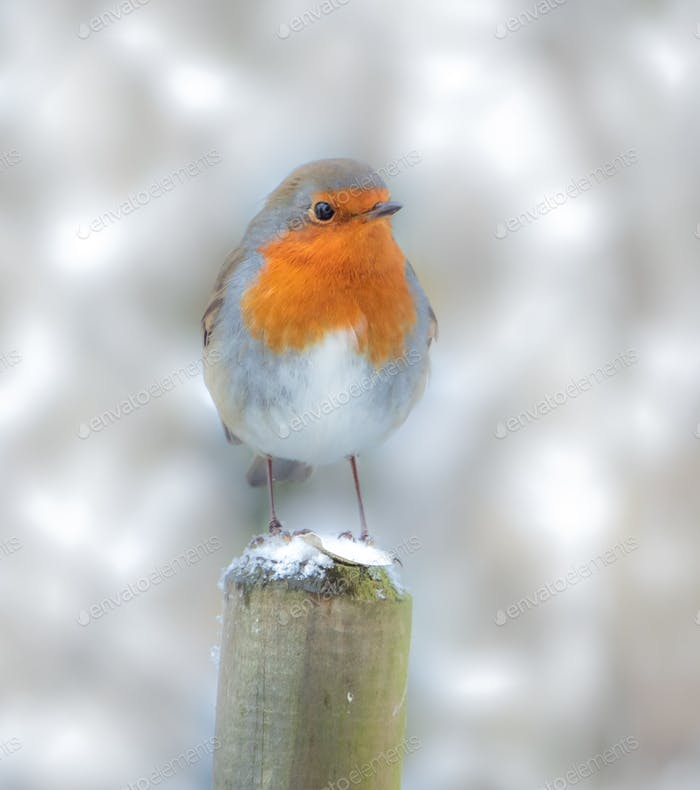 The Robin Redbreast - our wintertime garden visitor!