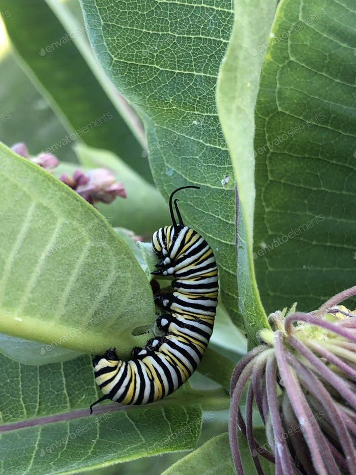 Monarch butterfly caterpillar crawling on milkweed plant leaf