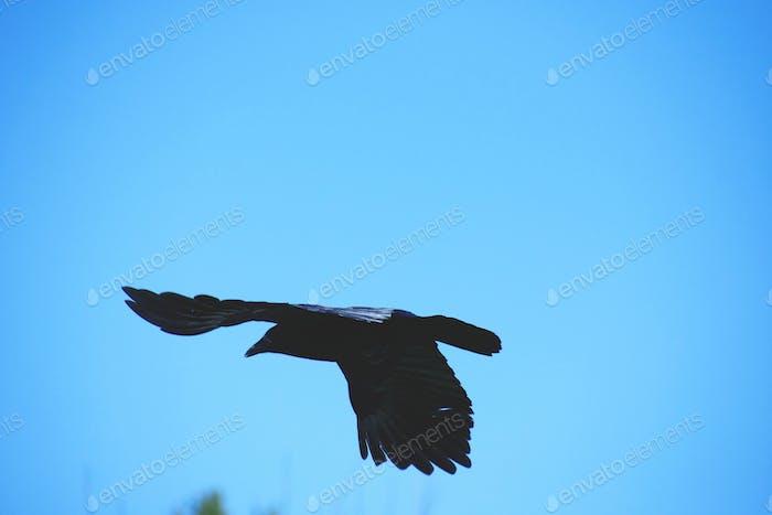 Eine Krähe mit Flügeln breitete sich in der Luft aus und fliegt gegen einen klaren blauen Himmel.