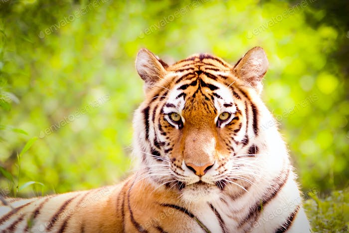 Tiger looking right into your eyes