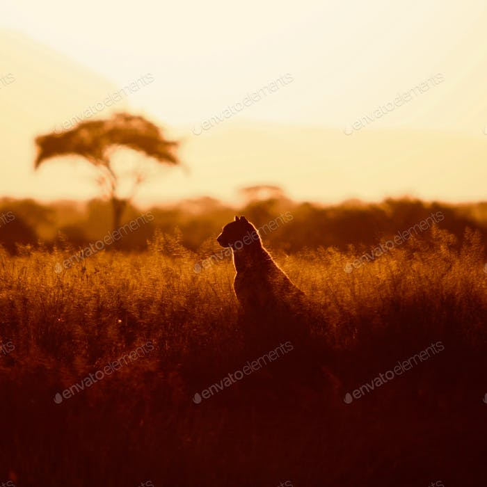 Golden hour on the Mara