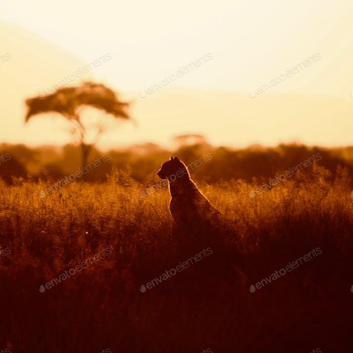 Golden hour on the Mara
