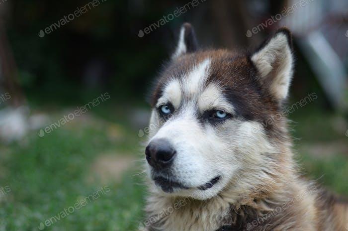 Alaskan Malamute with blue eyes