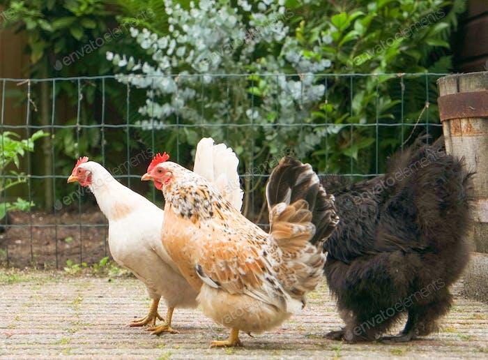 Backyard chicken walking together.