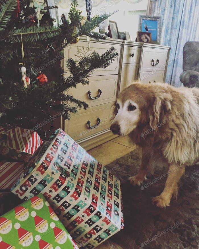 Doggo waiting for some Christmas