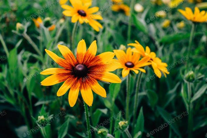 Rudbeckia Hirta Flowers in Wisconsin