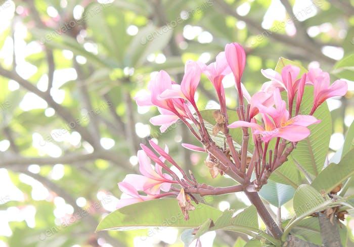 Pale pink frangipani flowers in bloom