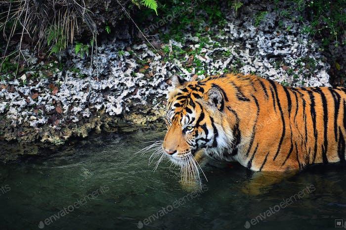 Bengal hunter