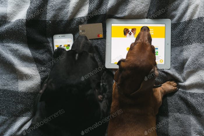 two dogs, a dachshund and a bull terrier, lie on the bed and examine the tablet