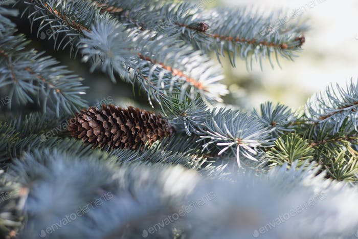 A pinecone on blue spruce branches