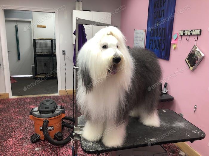 Sheepdog getting groomed