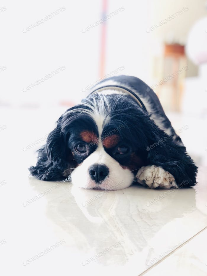 Harry the Cavalier King Charles
