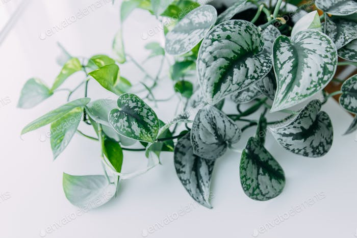 Lianas of epipremnum marble or Scindapsus painted on a white background, home plants