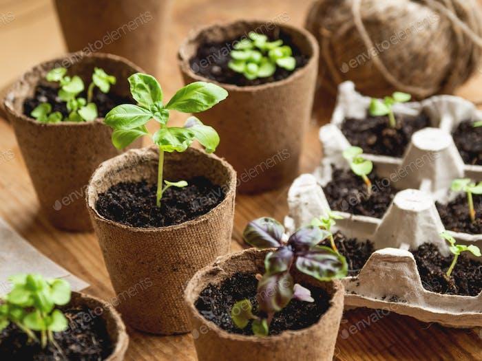 Basilikum-Setzlinge in biologisch abbaubaren Töpfen auf Holztisch. Grüne Pflanzen in Torftöpfen. Baby-Pflanzen