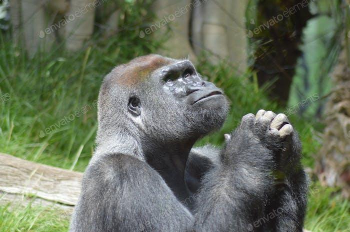 greatful Gorilla