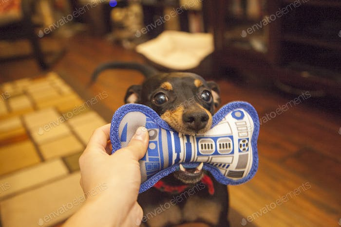 a Star Wars fan: a dog and her R2D2 bone