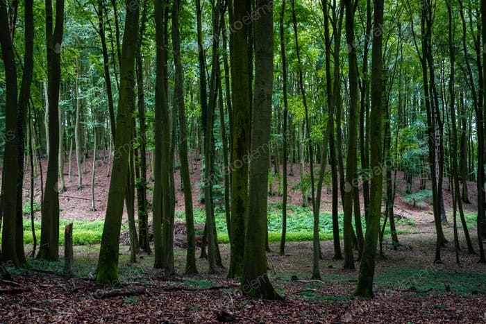 Woodland area of Granitz with European beech, Fagus sylvatica, and sessile oak in Rugen Island