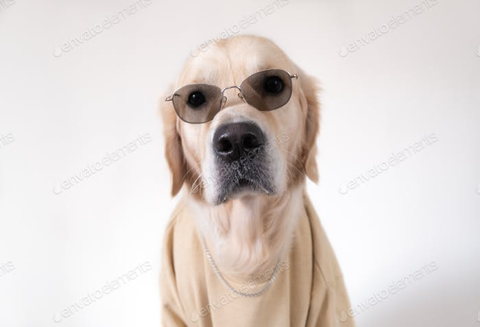A large dog in a beige sweatshirt and sunglasses sits on a white background.