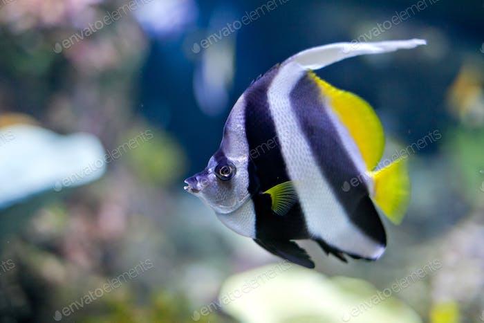 Swimming Spadefish in the blue ocean