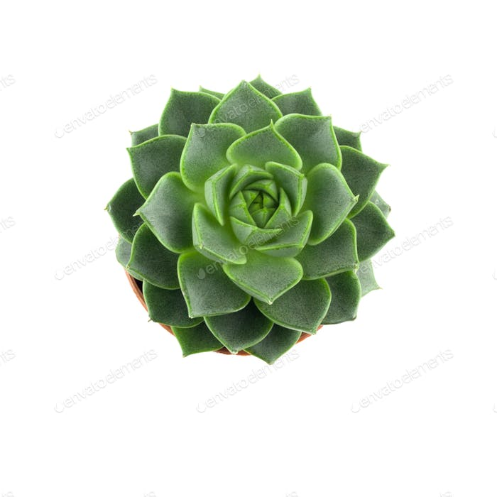 top view succulent plant isolated on white