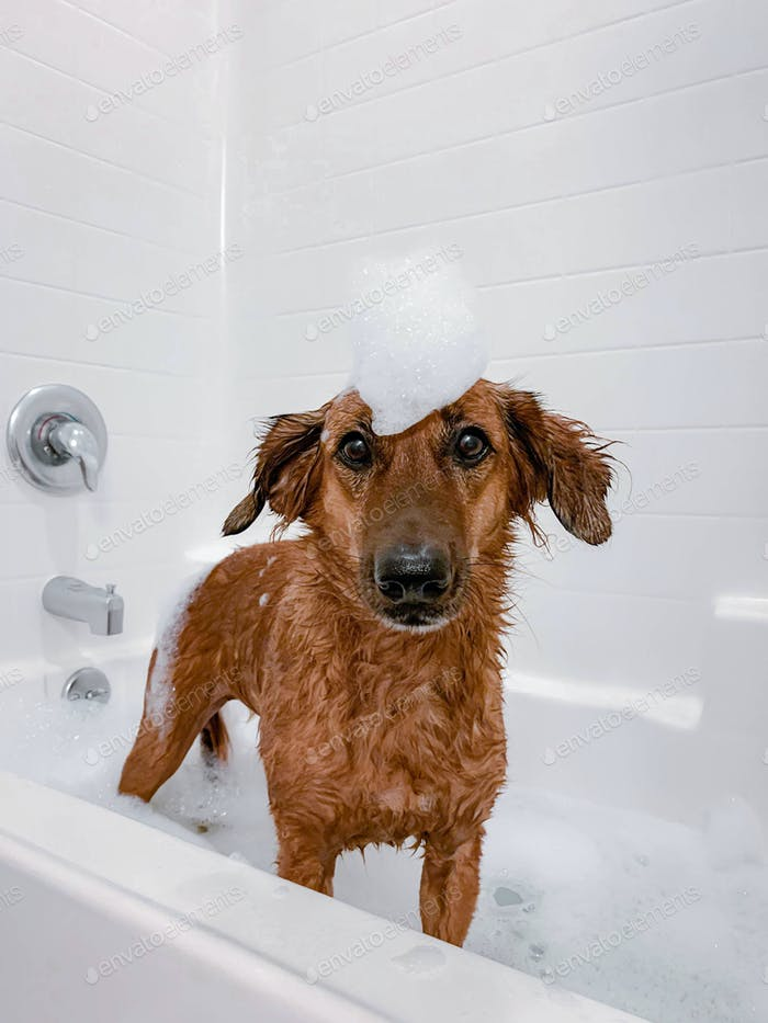 Cute brown dog having a bubble bath  NOMINATED ALREADY