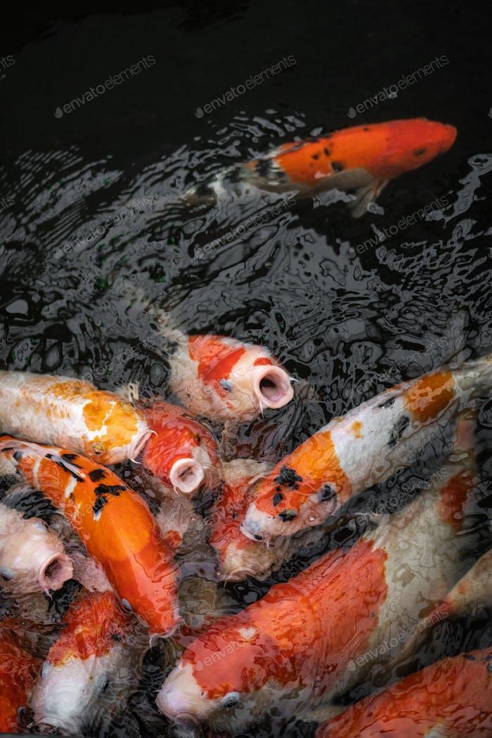 hordes of goldfish