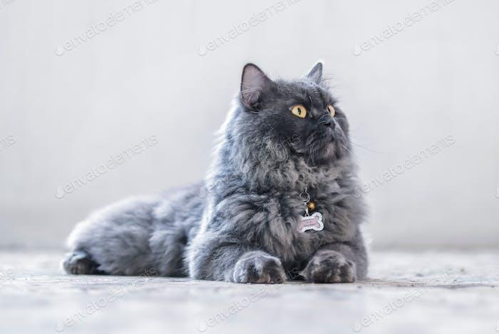 Portrait of a Gray Persian Cat.
