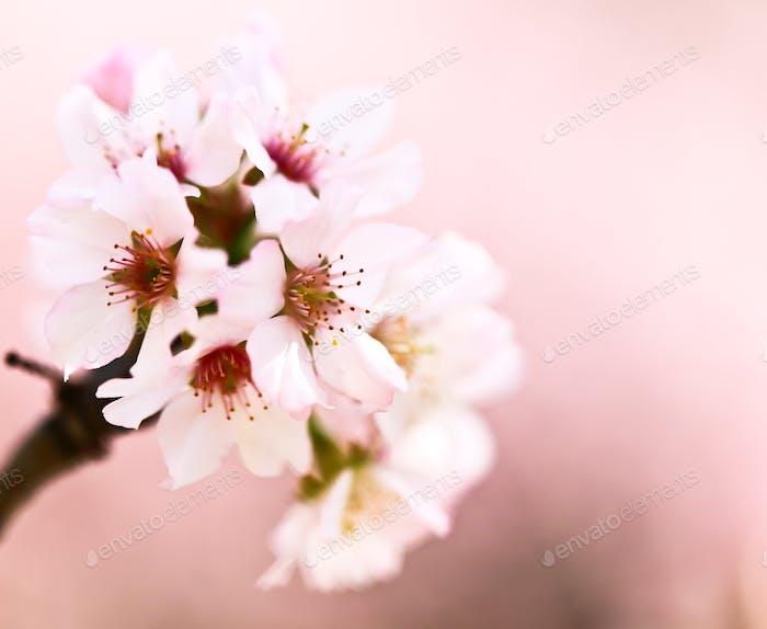 Sakura blossom - Spring 2016
