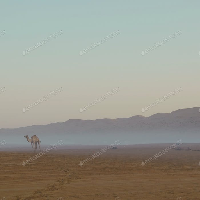 Camel in desert with foggy in the morning
